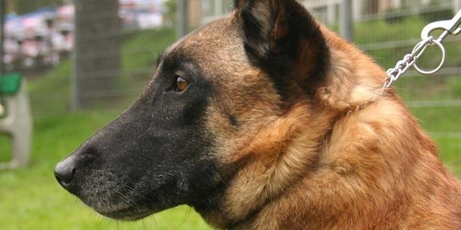 Cancer du sein : le flair du chien au banc d'essai