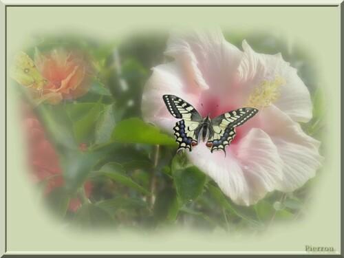 Papillons et Hibiscus