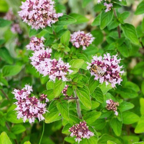 Fleurs cultivées : Marjolaine