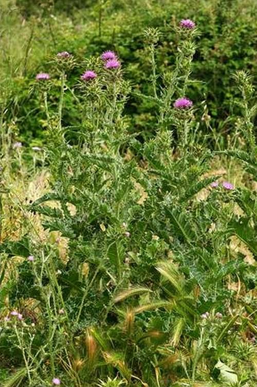 Vertus médicinales des plantes sauvages : Chardon Marie