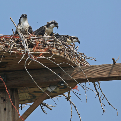 La nidification des Balbuzards pêcheurs