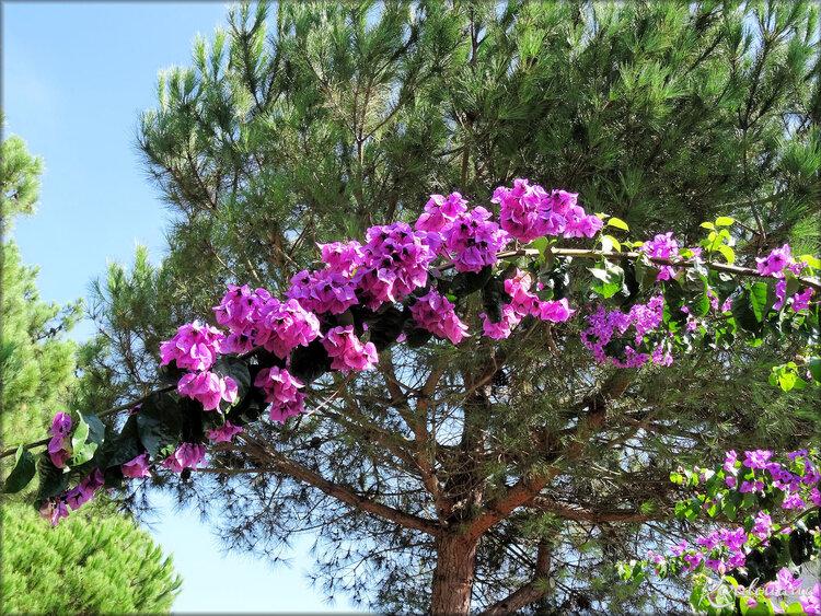 Photo de Bougainvilier (fleur-flore-arbres)