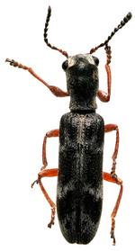 Inventaire des coléoptères La Réunion Décembre 2017