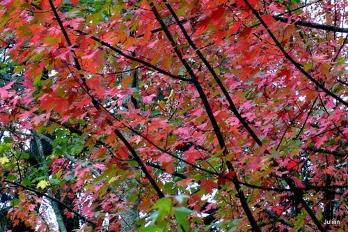Rouges feuilles d'automne