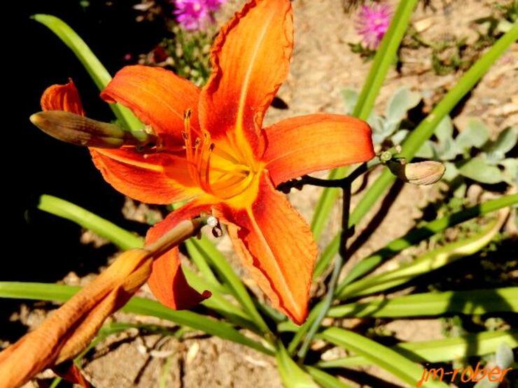 Le lis (lillium) , un long parcours dans l'histoire