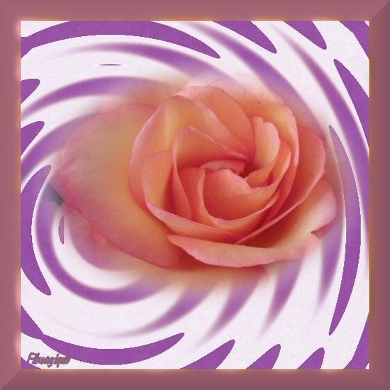 rose flottante