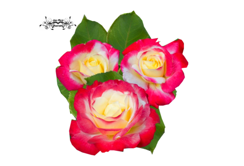 tube rose pour vos créations