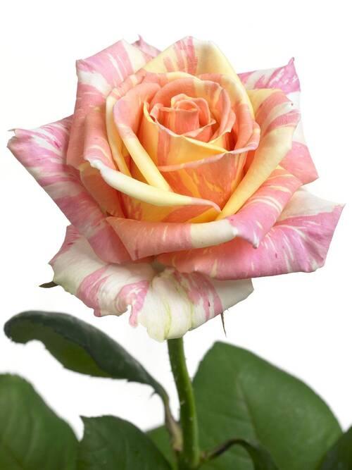 HISTOIRE DE ROSE