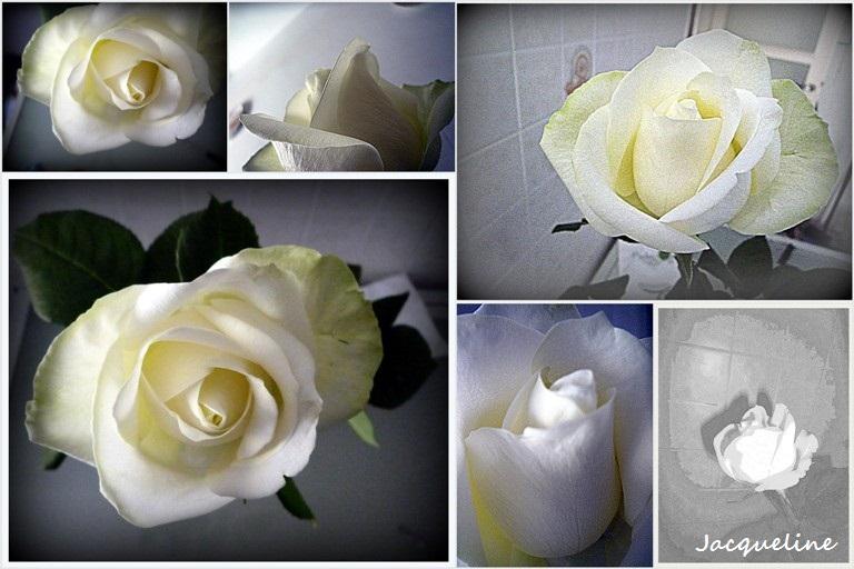Autour d'une rose