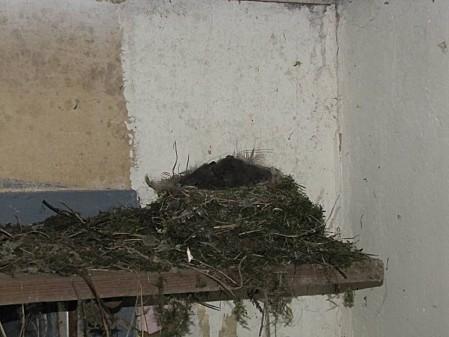 nid d'hirondelle (6)