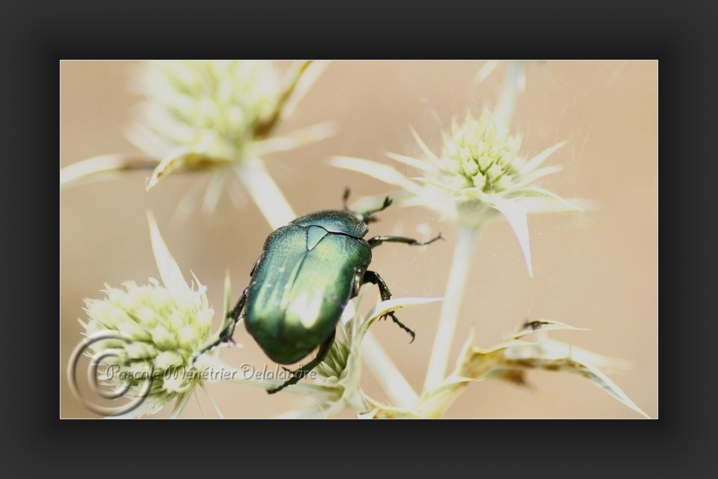 Cetonia aurata (cétoine dorée ou scarabée doré)