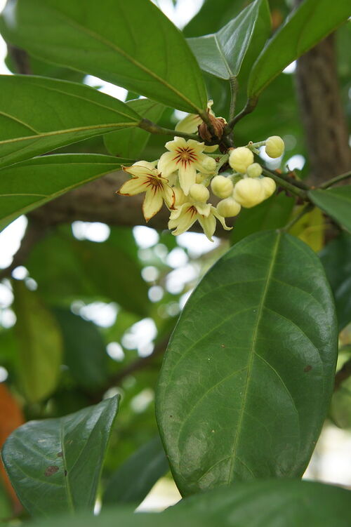 Fleurs cultivées : Kolatier