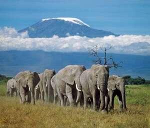 Eléphant d'Afrique Loxodonta africana