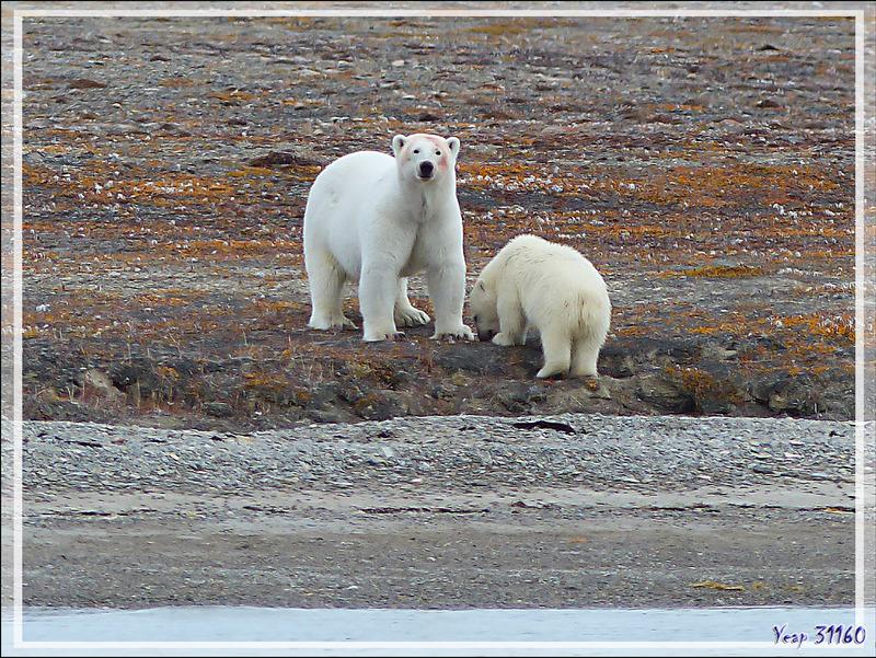 Nos cinquième et sixième ours blancs (Polar bear) de la journée - Guillemard Bay - Prince of Wales Island - Nunavut - Canada