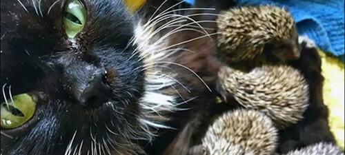 Une maman chat adopte 8 bébés hérissons
