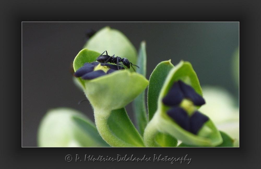 Balades de fourmis...