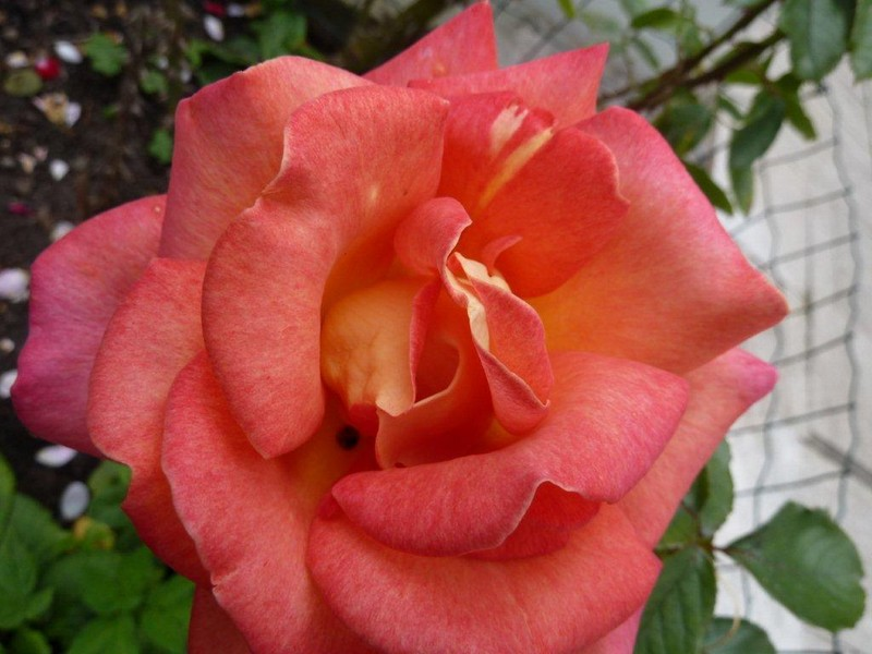 "La vie en ""roses"" ..."