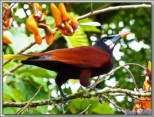 Blog de images-du-pays-des-ours : Images du Pays des Ours (et d'ailleurs ...), Cassique de Montezuma, Montezuma Oropendola (Psarocolius montezuma) - Arenal - Costa Rica
