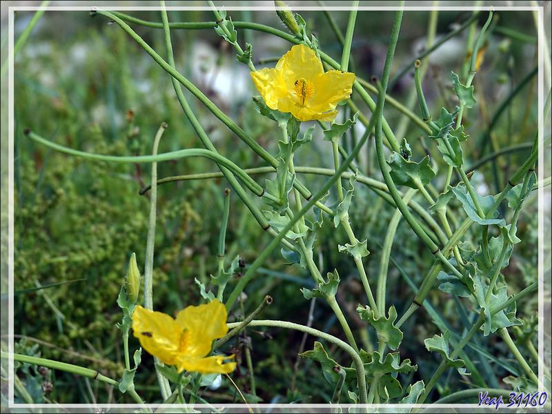 Glaucienne jaune ou pavot cornu (Glaucium flavum) - Loix-en-Ré - Ile de Ré - 17