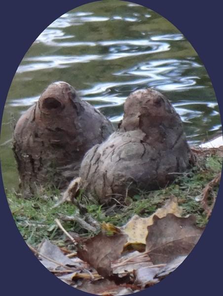Des oiseaux ou des phoques, au parc de Majolan, à Blanquefort...