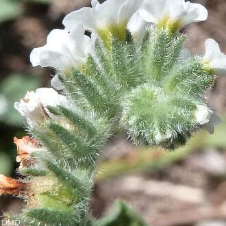 Heliotropium europaeum - héliotrope d'Europe