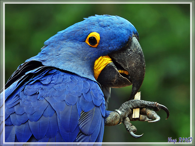 Ara hyacinthe, Hyacinth Macaw (Anodorhynchus hyacinthinus) - Parque das Aves - Foz do Iguaçu - Brésil