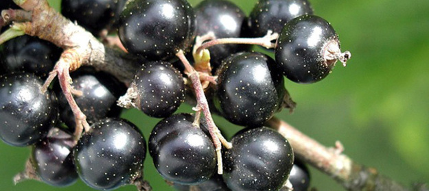 cassis-fruit-aliments-riches-en-fer-03