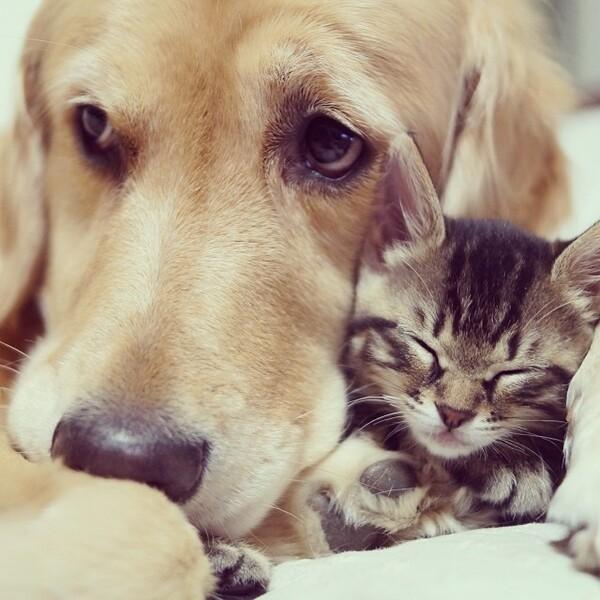 Un Golden retriever sauve un chaton