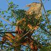Iguane vert dans son arbre (réserve de faune sauvage de Crooked Tree, Belize)