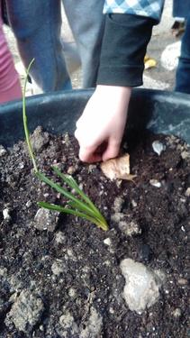 La plantation des bulbes