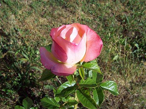 rose-rose-le-18-mai-2011.jpg