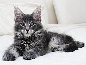maine-coon F5