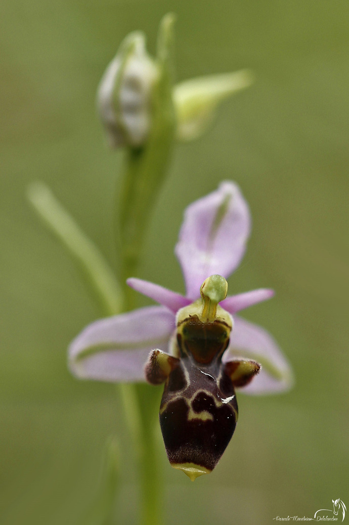 Ophrys bécasse