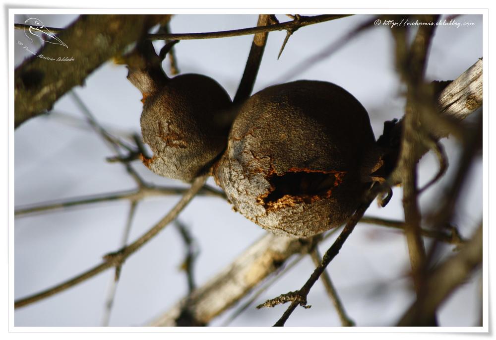 Les grenades en fin d'hiver...