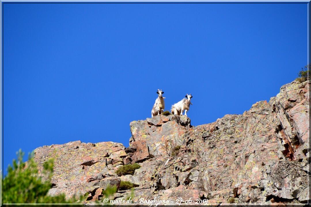 Chèvres sur les crêtes