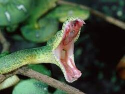 serpent entrin d attaquer