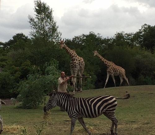 Le repas des girafes (suite du zoo de Pessac)