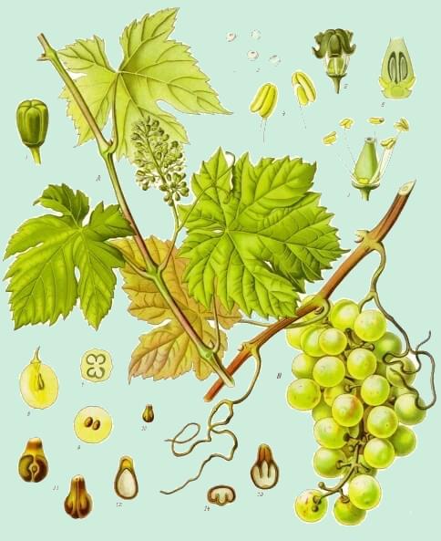 L'huile de pépins de raisin: le soin de la peau à mille vertus !