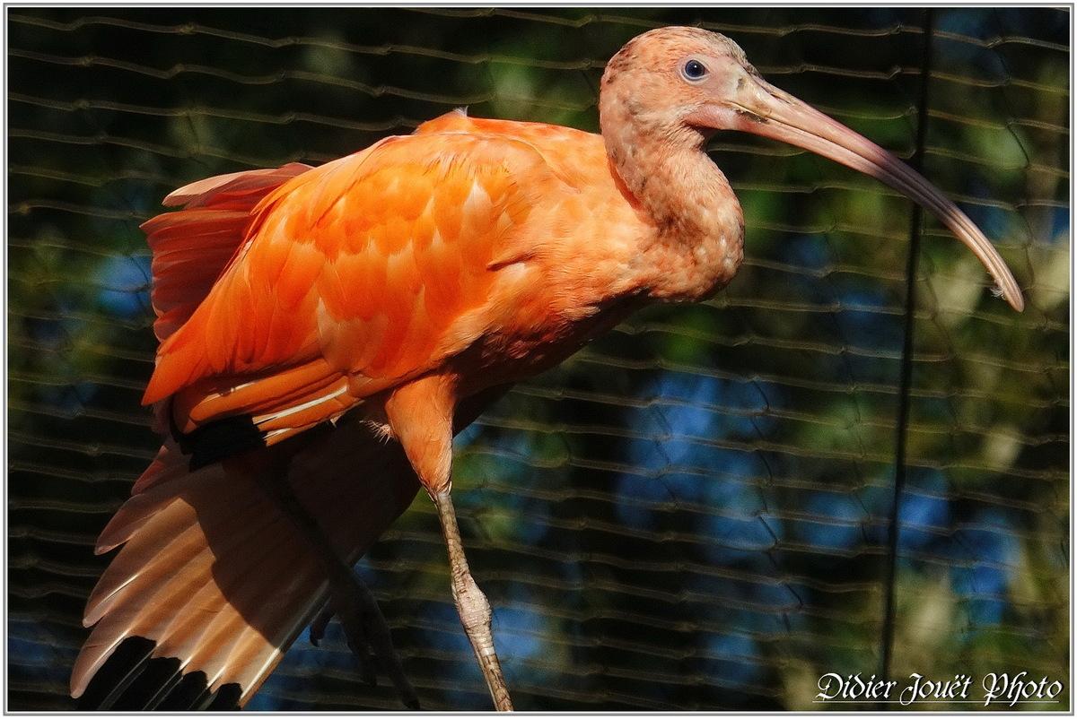 Ibis Rouge (1) - Eudocimus ruber