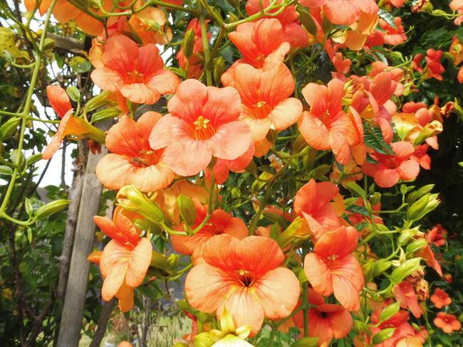 Bignole fleurie