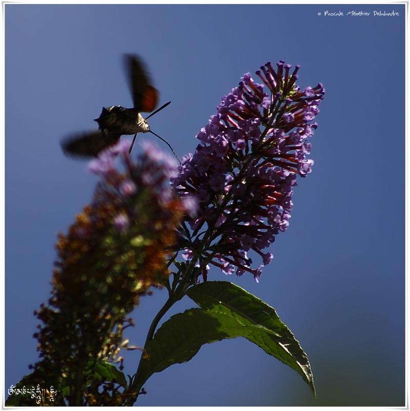 Moro sphinx ou Sphinx colibri ou Sphinx du caille-lait (Macroglossum stellatarum) - Sphingidae