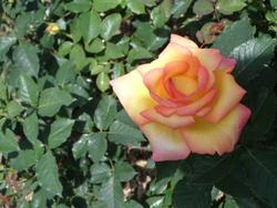Parmi les roses...!!!