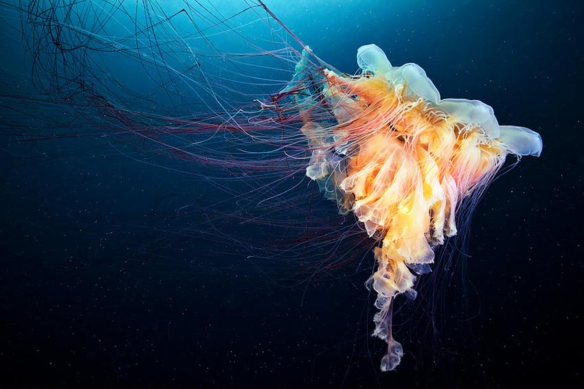 L'étrange beauté des méduses par Alexander Semenov