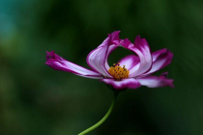 La Valse des Fleurs