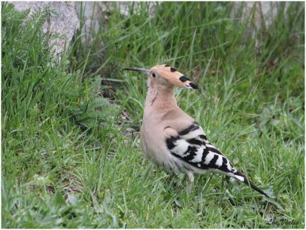 Oiseaux-3-6000-huppe-fasciee.jpg