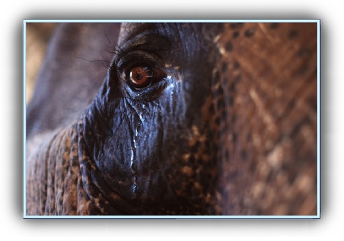 Raju, l'éléphant prisonnier