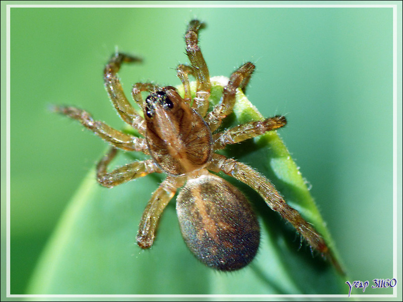 Araignée juvénile du type Lycose (Trochosa sp.) - Lartigau - Milhas - 31
