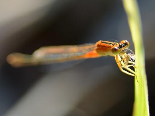 Pause casse-croute de l'Agrion orange