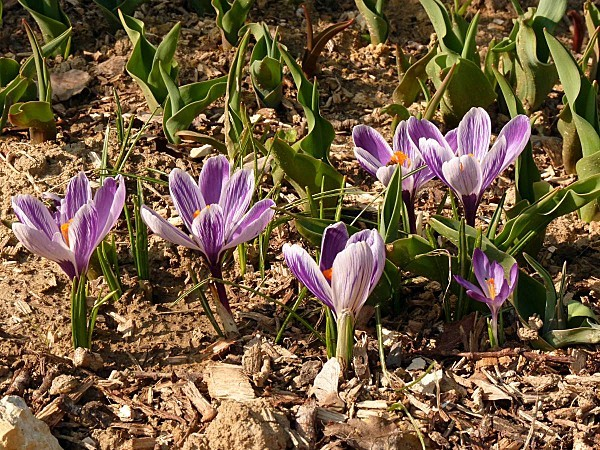 Crocus striés