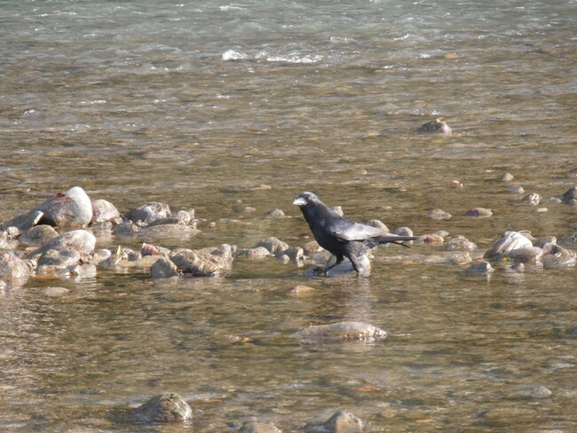 Corvus corax....